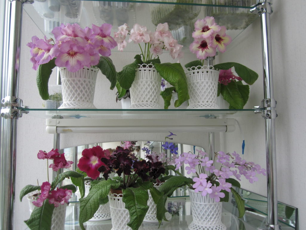 Цветы стрептокарпуса