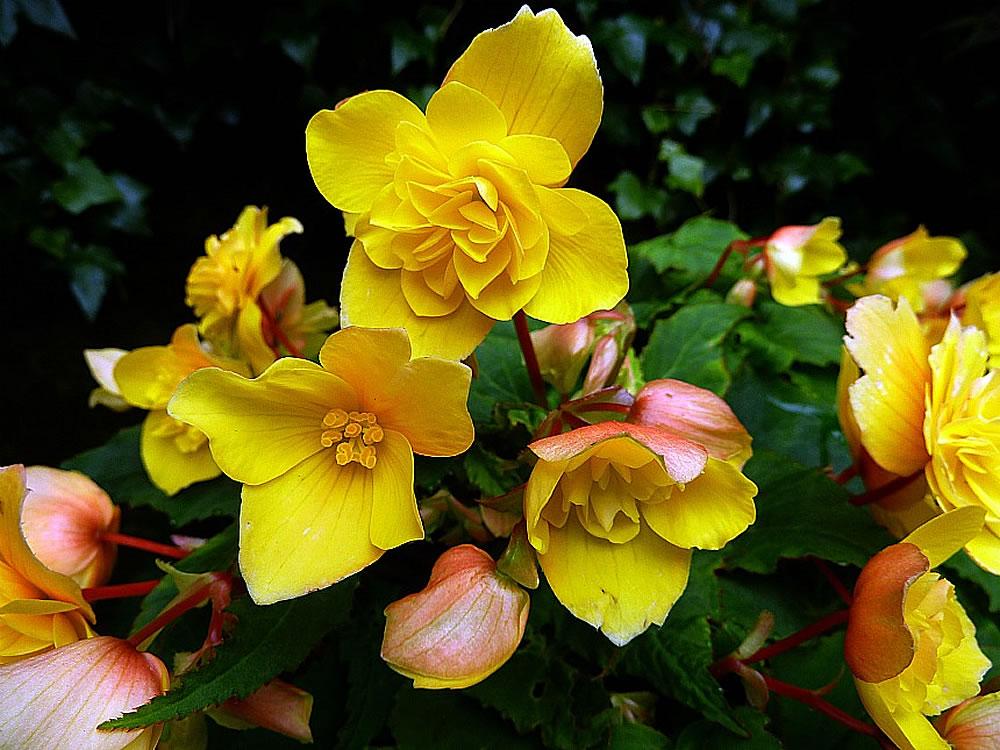 Здоровый цветок клубневой бегонии