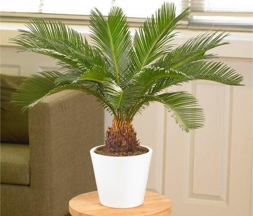 фото и названия пальмовых домашних растений модно креативно