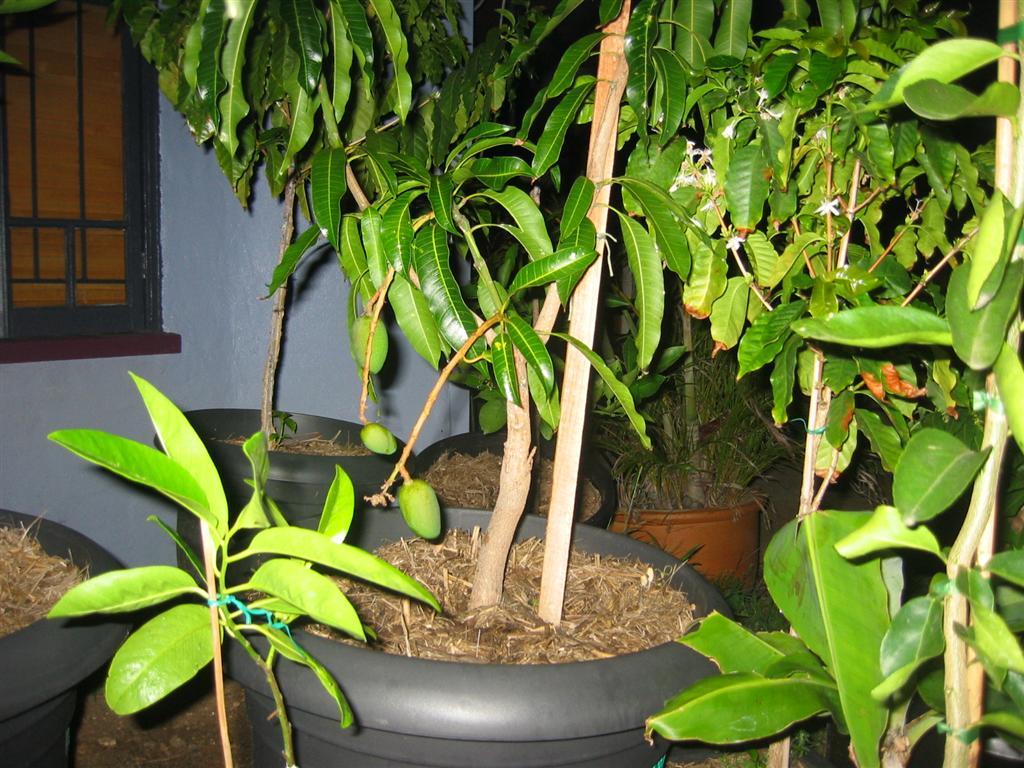 Вырастить манговое дерево из косточки