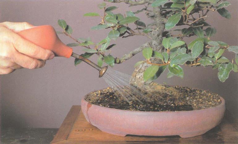 Мирт в условиях домашнего выращивания