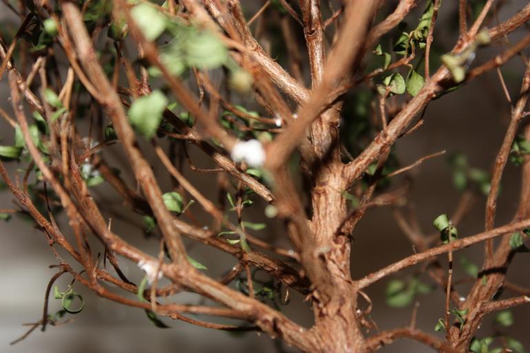 Щитовка на дереве мирта