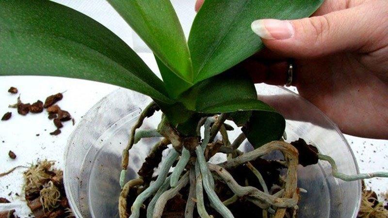 Размещение орхидеи в новом горшке