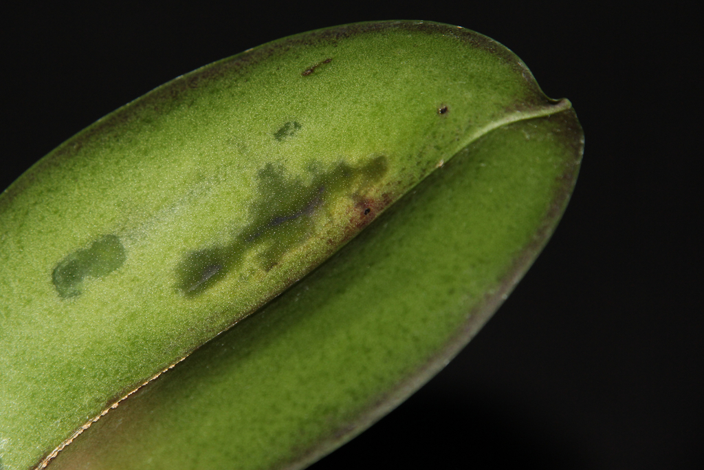 Бактериальная гниль на листьях орхидеи