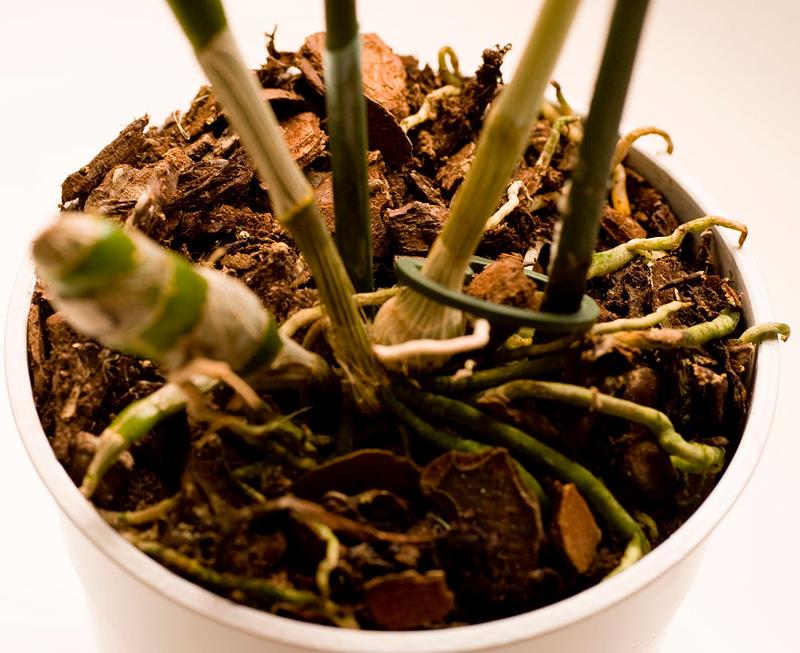 Почва для выращивания dendrobium nobile