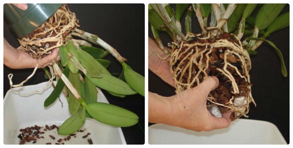 Извлечение орхидеи из горшка для пересадки